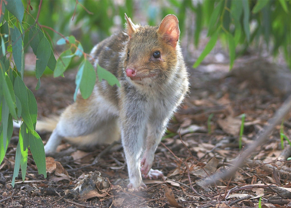 The Eastern Quoll has been extinct on the Australian mainland since the 1960s, but is now being reintroduced at Mulligans Flat Woodland Sanctuary in Canberra. Photo by David Jenkins. CC BY-NC-SA 2.0
