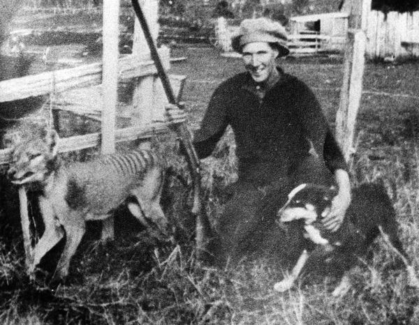 The Tasmanian Tiger was hunted to extinction, with the last wild animal killed in 1930. Photo by Unknown - http://tasphotos.blogspot.com/2009/02/wilfred-batty-and-his-tasmanian-tiger.html, Public Domain, https://commons.wikimedia.org/w/index.php?curid=11957745